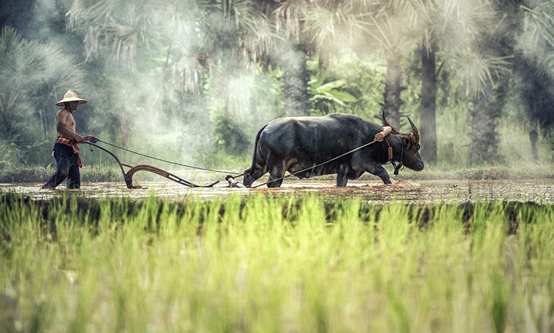 Saving the Water Buffaloes